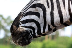 Boca do close-up da zebra Foto de Stock Royalty Free