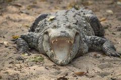 Boca do crocodilo aberta Fotos de Stock Royalty Free