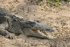 Boca do crocodilo aberta Fotos de Stock