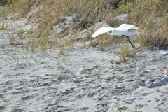 Egret flies along the Boca Raton Beach Duneline. The Boca Raton, Florida Beach is miles of sandy shoreline and easy access to beach-goers Stock Photos