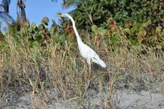 Egret walks the Boca Raton Beach Duneline. The Boca Raton, Florida Beach is miles of sandy shoreline and easy access to beach-goers Stock Photos
