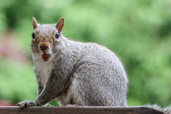 Boca surpreendida de Grey Squirrel aberta Fotografia de Stock