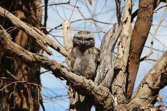 Boca Tawny Owl da rã - eu tenho sua parte traseira Imagem de Stock