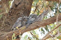 Boca Tawny Owl da rã - o seu que olha o caçoa Fotos de Stock Royalty Free