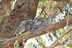 Boca Tawny Owl de la rana - el suyo que le mira embroma Fotos de archivo libres de regalías