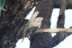 Boca Tawny Owl de la rana - su un pedazo aplastado detrás aquí Imagen de archivo libre de regalías