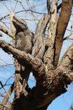 Boca Tawny Owl de la rana - usted mira que la manera y yo miraremos el otro Fotos de archivo