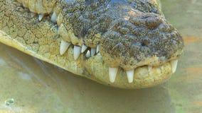 Boca y dientes del cocodrilo almacen de video