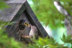 Bocas hambrientas para alimentar - pájaros de bebé en pajarera Foto de archivo libre de regalías