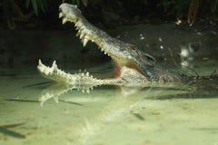 Bocca aperta del coccodrillo in acqua immagine stock