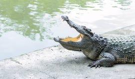 Bocca aperta del coccodrillo allo zoo Fotografia Stock