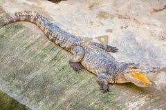 Bocca aperta del coccodrillo pericoloso in azienda agricola a Phuket, Tailandia Immagini Stock