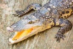 Bocca aperta del coccodrillo pericoloso in azienda agricola a Phuket, Tailandia Immagini Stock Libere da Diritti