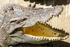 Bocca aperta del coccodrillo pericoloso in azienda agricola a Phuket, Tailandia Fotografia Stock
