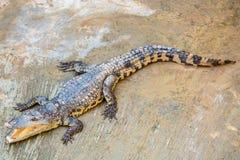 Bocca aperta del coccodrillo pericoloso in azienda agricola a Phuket, Tailandia Fotografie Stock Libere da Diritti