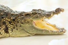 Bocca aperta del coccodrillo pericoloso in azienda agricola a Phuket, Tailandia Fotografie Stock