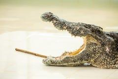 Bocca aperta del coccodrillo pericoloso in azienda agricola a Phuket, Tailandia Alligatore Fotografia Stock Libera da Diritti