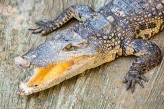 Bocca aperta del coccodrillo pericoloso in azienda agricola a Phuket, Tailandia Alligatore dentro Immagini Stock Libere da Diritti