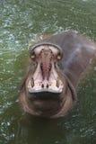 Bocca aperta dell'ippopotamo Fotografia Stock