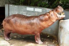 Bocca aperta dell'ippopotamo diritto fotografia stock