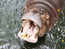 Bocca degli ippopotami aperta Fotografie Stock