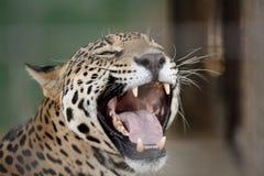 Bocca del giaguaro aperta Fotografie Stock Libere da Diritti
