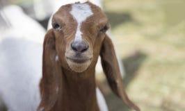 Bocca dell'animale domestico della capra del bambino in gabbia Immagini Stock Libere da Diritti