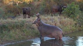 Bocca dell'ippopotamo di Kruger aperta Immagini Stock Libere da Diritti
