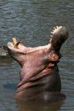 Bocca dell'ippopotamo spalancata in Africa Fotografie Stock