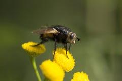 Bocca della mosca di Tachinid Fotografie Stock Libere da Diritti