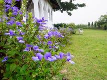 Bocca di leone di Bazilian, Hawai blu, caeruleus Lindl di Otacanthus., S Fotografia Stock