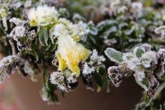 Bocca di leone gialla glassata di ghiaccio Fotografia Stock