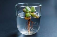 Boccetta con acqua pulita e la piccola pianta succulente dentro Concetto di ecologia, trattamento, cura, sanità, ambiente immagini stock libere da diritti