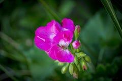 Bocche di leone rosa Immagini Stock Libere da Diritti