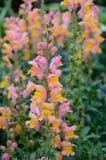 Bocche di leone rosa e gialle Fotografia Stock