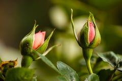 Boccioli di rosa Fotografia Stock