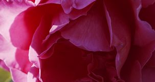 Bocciolo di rosa rosa in giardino video d archivio