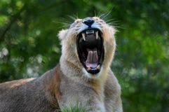 Bocejo da leoa Jardim zoológico de Paignton fotos de stock