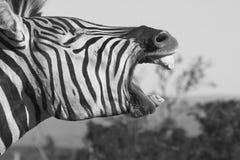Bocejo da zebra Imagem de Stock