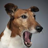 Bocejo de Jack Russell Terrier em um estúdio escuro Imagens de Stock Royalty Free