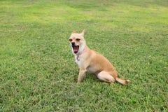 Bocejo do cão da chihuahua exterior Fotos de Stock