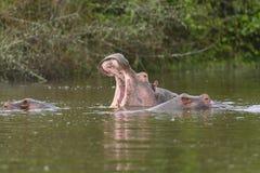 Bocejo do hipopótamo em um lago africano Imagens de Stock