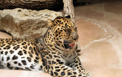 Bocejo do leopardo imagem de stock royalty free