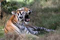 Bocejo do tigre Foto de Stock Royalty Free