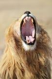 Bocejo masculino do leão, Serengeti Fotografia de Stock