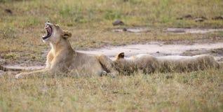 Bocejo masculino do leão novo ao encontrar-se para baixo e resto Fotografia de Stock Royalty Free