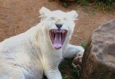 Bocejos brancos bonitos do filhote de leão Imagens de Stock Royalty Free