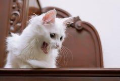 Bocejos brancos do gato do angora Fotografia de Stock Royalty Free