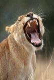 Bocejos da leoa Fotografia de Stock