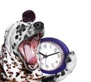 Bocejos do cão e ir dormir Imagens de Stock Royalty Free
